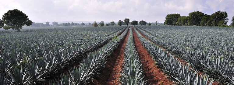 tequila agave odling
